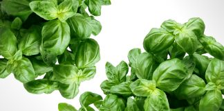 clusters of fresh green basil leaves against a white background