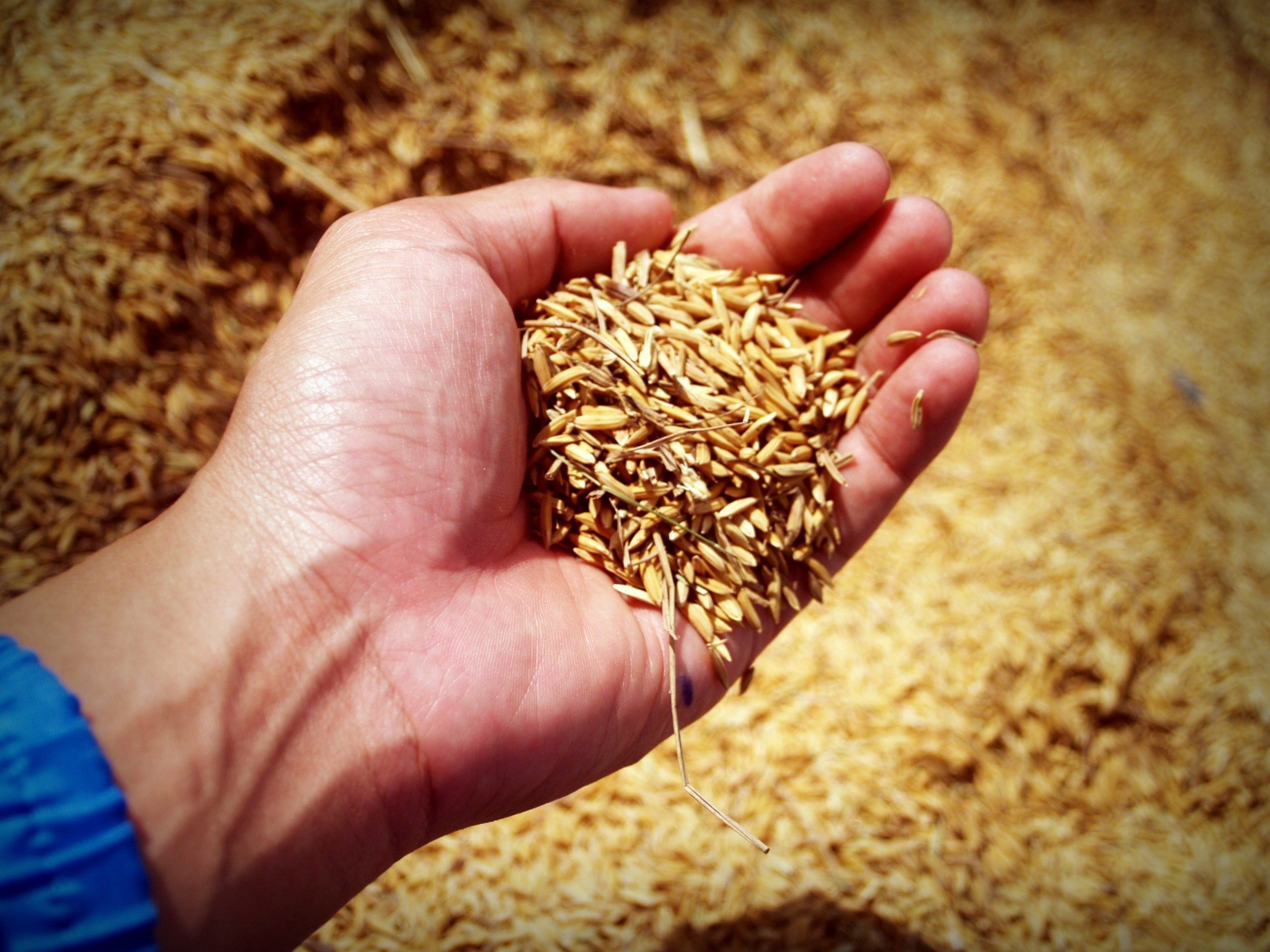 man's hand holding grains